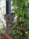 one koala was actually awake (phascolarctos cinereus)