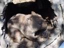 common wombat (vombatus ursinus). 2005-12-07, Sony Cybershot DSC-F717.