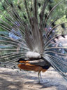 indian peafowl bootie (pavo cristatus) displaying