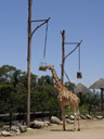 giraffe (giraffa camelopardalis) - it's hard to believe that they only have 7 vertebrae in their neck...