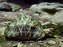 indian star tortoise (geochelone elegans). 2005-12-07, Sony Cybershot DSC-F717.