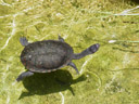 eastern snake-necked turtle (chelodina longicollis). 2005-12-07, Sony Cybershot DSC-F717. keywords: common snake-necked turtle, halswenderschildkröte