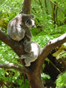 more koalas (phascolarctos cinereus)