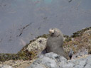 a new zealand furr seal (arctocephalus fosteri). 2005-12-11, Sony Cybershot DSC-F717.