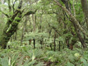 forest vegetation: lots of (tree-)ferns