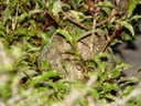 pounamu, demonstrating kakapo camouflage. 2005-12-21, Sony Cybershot DSC-F717.