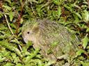 pounamu, a kakapo (strigops habroptilus). 2005-12-21, Sony Cybershot DSC-F717.
