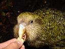 tongue. 2005-12-23, Sony Cybershot DSC-F717. keywords: kakapo, strigops habroptilus