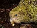 kakapo poura - note the owl-like disk of facial feathers and the