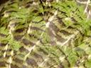 close-up of kakapo-plumage. 2005-12-26, Sony Cybershot DSC-F717. keywords: kakapo, strigops habroptilus