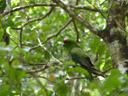 kakariki, red-crowned parakeet (cyanoramphus novaezelandiae). 2005-12-15, Sony Cybershot DSC-F717.