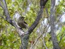 new zealand bellbird (anthornis melanura), female. 2005-12-19, Sony Cybershot DSC-F717.