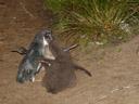 blue penguin (eudyptula minor) parent, feeding its chicks. 2005-12-19, Sony Cybershot DSC-F717.