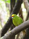 kakariki, yellow-crowned parakeet (cyanoramphus auriceps). 2005-12-21, Sony Cybershot DSC-F717.
