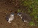 juvenile little penguins (eudyptula minor), about to moult. 2005-12-27, Sony Cybershot DSC-F717.