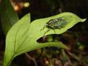 cicada (auchenorrhyncha). 2005-12-27, Sony Cybershot DSC-F717.