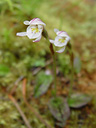 odd-leaved orchid (aporostylis bifolia)
