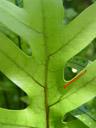 contrast. 2005-12-17, Sony Cybershot DSC-F717. keywords: polypodiaceae, phymatosorus pustulatus, microsorum diversifolium,