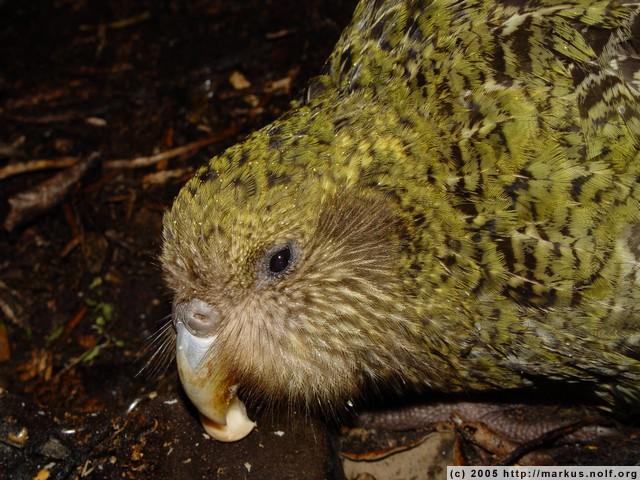 poura, a one-year-old kakapo