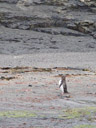 they said there would be yellow-eyed penguins (megadyptes antipodes). we found ONE. 2005-12-29, Sony Cybershot DSC-F717.