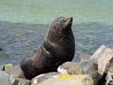 new zealand fur seal (arctocephalus forsteri), posing for us. 2005-12-30, Sony Cybershot DSC-F717. keywords: kekeno, australischer seebär, otariidae