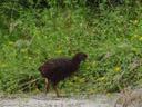 weka (gallirallus australis). 2005-12-31, Sony Cybershot DSC-F717. keywords: rallidae, gallirallus, woodhen, bush-hen