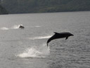 bottlenose dolphins (tursiops truncatus). 2005-12-31, Sony Cybershot DSC-F717. keywords: delphininae, tursiops truncates