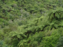 tree ferns in the waimangu volcanic valley