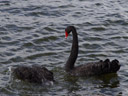 one-and-a-half black swans (cygnus atratus)