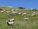 neuseeland: 4 millionen einwohner, 12 millionen schafe || foto details: 2006-01-06, near waitomo, new zealand, Sony DSC-F717.