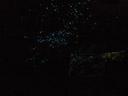 tausende von arachnocampa luminosa larven locken ihre beute mit licht an. || foto details: 2006-01-06, near waitomo, new zealand, Sony DSC-F717. keywords: glowworm caves, bioluminescense, bioluminescence, biolumineszenz, titiwai, nematocera, bibionomorpha, mycetophilidae