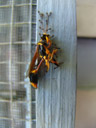 [] ants, pulling a potter wasp up the window frame. 2006-01-15, Sony DSC-F717.