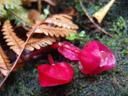 last signs of the tagimaucia flower (medinilla waterhousei)