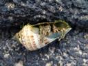 hermit crab (paguroidea) emerging. 2006-01-17, Sony DSC-F717. keywords: decapoda, anomura