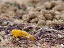lemon-yellow clawed fiddler crab (uca perplexa?). 2006-01-17, Sony DSC-F717.