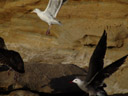 sea gulls (larus sp.) taking off