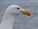 gull portrait (larus sp.)
