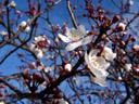 kirschblüten (prunus sp.), im späten jänner || foto details: 2006-01-25, san francisco, ca, usa, Sony DSC-F717.
