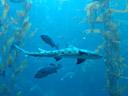 leopard shark (triakis semifasciata). 2006-01-27, Sony DSC-F717. keywords: elasmobranchii, carcharhiniformes, triakidae