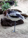 american avocet (recurvirostra americana), sleeping. 2006-01-27, Sony DSC-F717. keywords: charadriiformes, recurvirostridae
