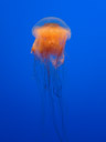 lion's mane jellyfish (cyanea capillata) can get up to 2.3m in diameter!