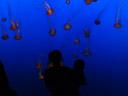sea nettles (chrysaora fuscescens). 2006-01-27, Sony DSC-F717. keywords: Cnidaria, Scyphozoa, Semaeostomeae, Pelagiidae