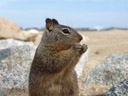california ground squirrel (spermophilus beecheyi), posing for me