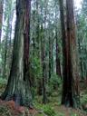 redwood trees (sequoia sempervirens) in sequoia park. 2006-02-01, Sony DSC-F717.