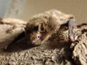 nathusius' pipistrelle bat (pipistrellus nathusii)