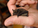 common pipistrelle bat (pipistrellus pipistrellus), sitting on a thumb