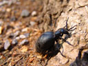 female oil beetle (meloe proscarabaeus). 2006-04-07, Sony Cybershot DSC-F828. keywords: blister beetle