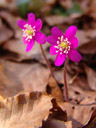 the pinkest hepatica ever (hepatica nobilis)