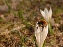flying bee (apis mellifera). 2006-04-09, Sony Cybershot DSC-F828.