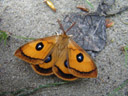 tau emperor (aglia tau), male. 2006-04-29, Sony Cybershot DSC-F828. keywords: orange, butterfly